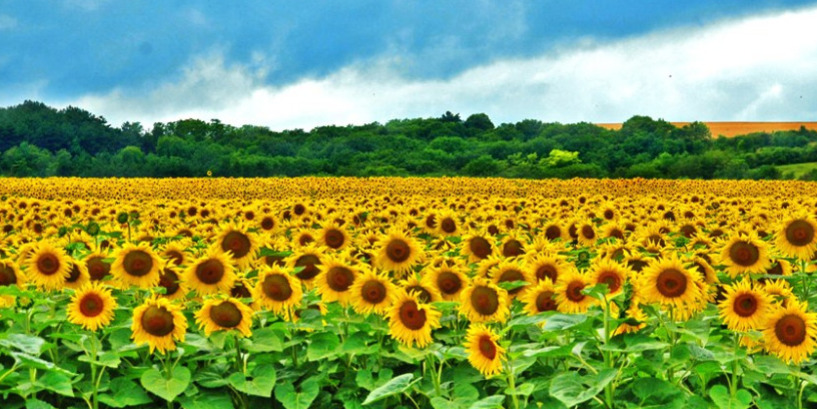 Sunflowers fields in the Aude district